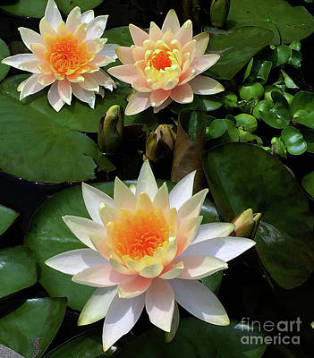Painting - Waterlilies Late Afternoon Photo by Marlene Book