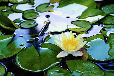 Photograph - Waterlilly On Blue Pond by Robert FERD Frank