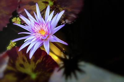 Photograph - Waterlily 2 by Jonathan Nguyen