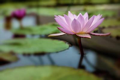 Photograph - Waterlily 3 by Jonathan Nguyen