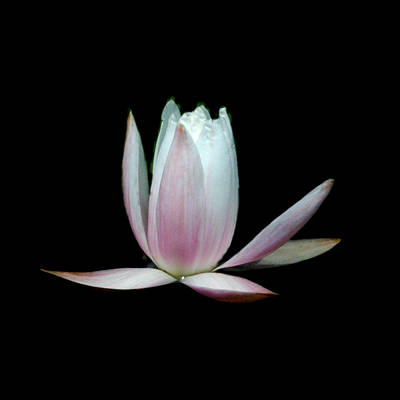 Photograph - Waterlily 4 by David Weeks
