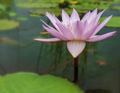Photograph - Waterlily 4 by Jonathan Nguyen