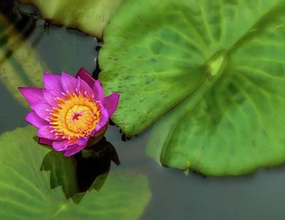 Photograph - Waterlily 5 by Jonathan Nguyen