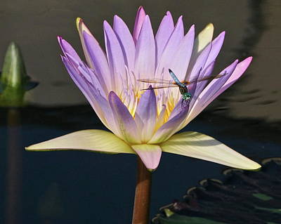 Photograph - Waterlily And Dragonfly by Byron Varvarigos