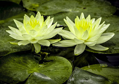 Waterlily Duet Art Print