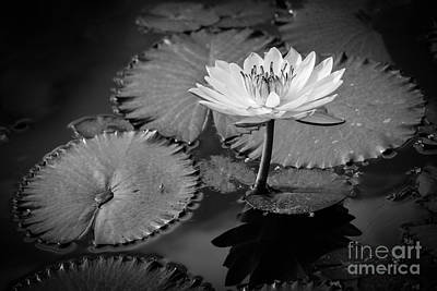 Waterlily Elegance 2 Art Print by Liesl Walsh