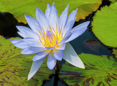 Photograph - Waterlily by Elvira Butler