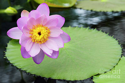 Photograph - Waterlily Julia Leu by Tim Gainey
