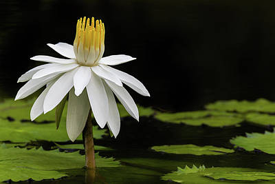 Photograph - Waterlily Perfection by Dawn Currie