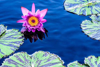 Photograph - Waterlily by Randy Scherkenbach