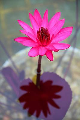 Photograph - Waterlily Reflection by Kathryn Meyer