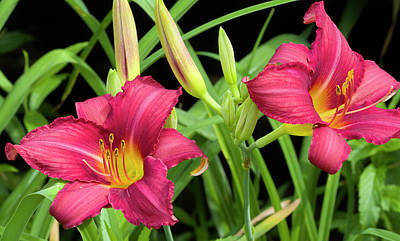 Photograph - Watermelon Color Daylily by Kathy Clark