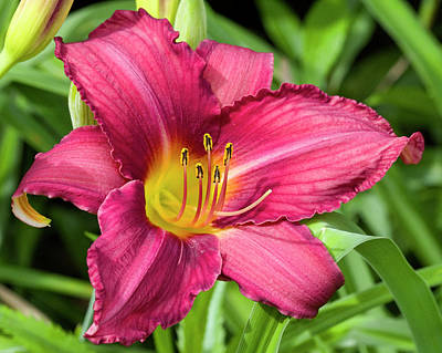 Photograph - Watermelon Colored Day Lily by Kathy Clark