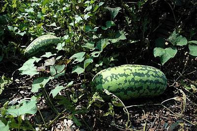 Photograph - Watermelons by Michael Thomas