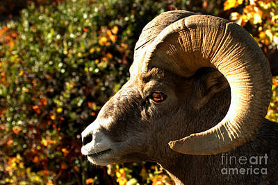 Photograph - Waterton Lakes Bighorn Closeup by Adam Jewell