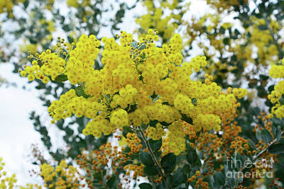 Photograph - Wattle Against Winter Sky By Kaye Menner by Kaye Menner