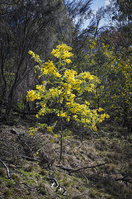 Photograph - Wattle Tree - Canberra - Australia by Steven Ralser