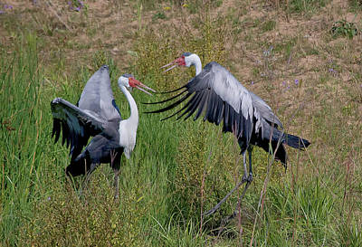 Photograph - Wattled Crane 2 Visit Www.angeliniphoto.com For More by Mary Angelini
