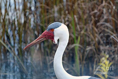 Photograph - Wattled Crane by Janet Pugh