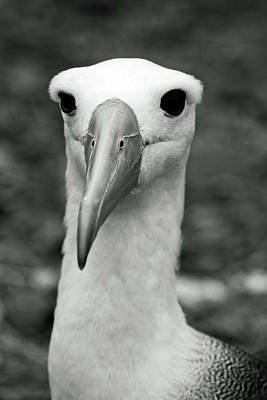 Photograph - Waved Albatross by Sally Weigand