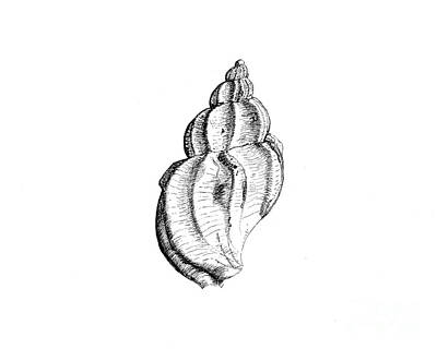 Waved Whelk Art Print by Jeff Greiner