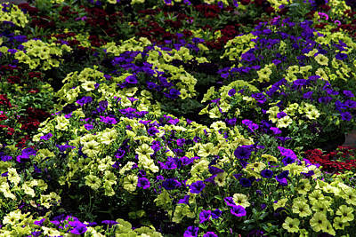 Photograph - Waves Of Petunias by Alana Thrower