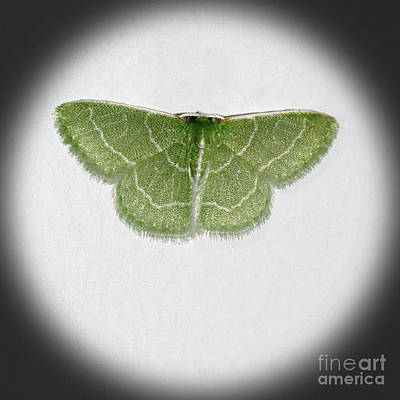 Photograph - Wavy Lined Emerald Moth Square Vignette by Karen Adams