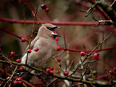 Photograph - Waxwing Call by Inge Riis McDonald