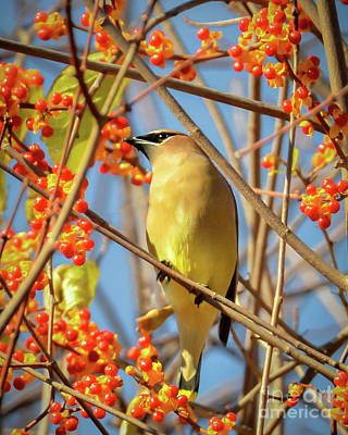 Photograph - Waxwing Heaven by Amy Porter