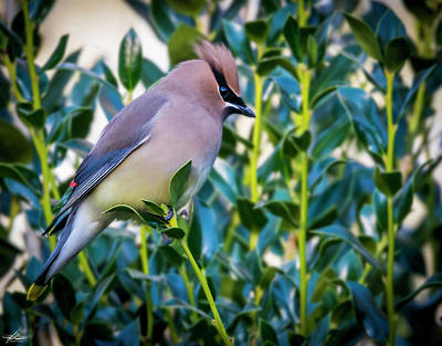 Photograph - Waxwing In The Yard by Phil Rispin