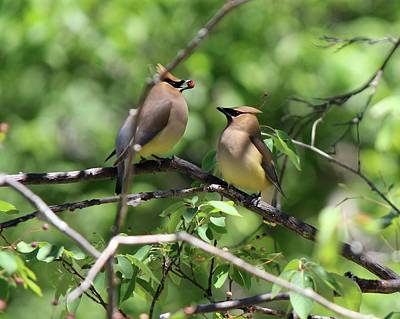 Photograph - Waxwing Socialism by David Pickett