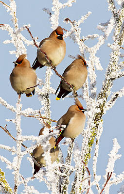 Waxwings And Hoar Frost Art Print