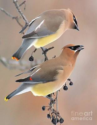 Photograph - Waxwings by Debbie Stahre