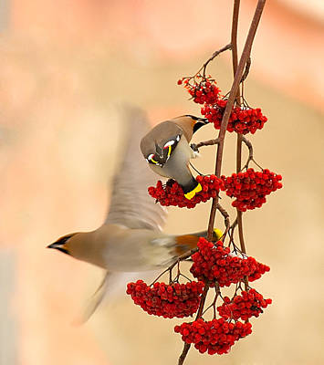 Waxwing Photograph - Waxwings by Dmitry Dubikovskiy