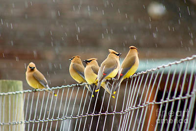 Waxwings In The Rain Art Print