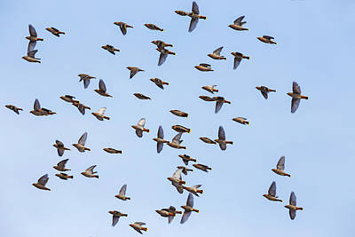 Art Print featuring the photograph Waxwings by Mircea Costina Photography