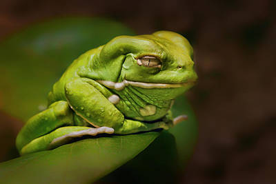 Photograph - Waxy Monkey Tree Frog by Nikolyn McDonald