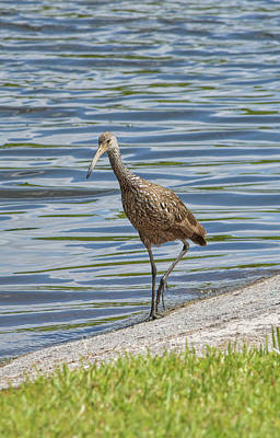 Photograph - Wayward Limpkin by William Tasker