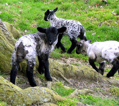 We Are Poor Little Lambs Art Print by Mindy Newman