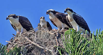 Photograph - We Are The Osprey Family   by HH Photography of Florida