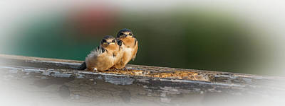 Photograph - We Are The Swallow Chicks by Yeates Photography