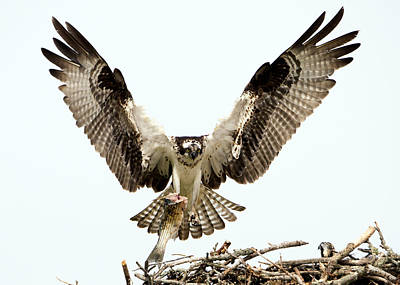 Photograph - Osprey Returns by Stephen Flint