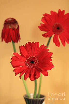 Gerber Daisy Photograph - We Three by Amanda Barcon