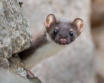 Photograph - Weasel Peek-a-boo by Stephen Flint