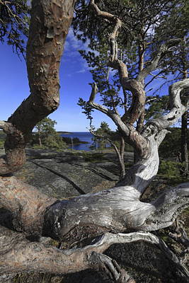 Target Threshold Nature - Weather beaten pine tree and blue sea by Ulrich Kunst And Bettina Scheidulin