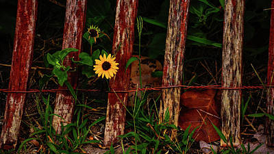 Photograph - Weathered Fence Daisy Delray Beach Florida by Lawrence S Richardson Jr