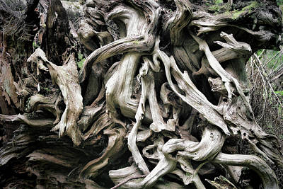 Plants Photograph - Weathered Roots - Sitka Spruce Tree Hoh Rain Forest Olympic National Park Wa by Christine Till