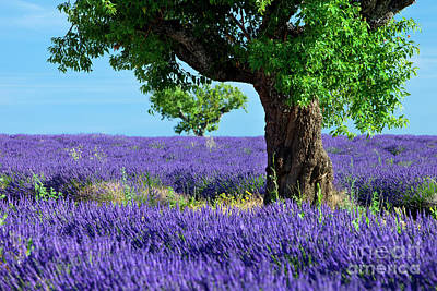 Photograph - Weathered Tree In Lavender by Brian Jannsen