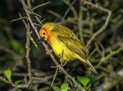Animals Royalty-Free and Rights-Managed Images - Weaver Bird on Thorny Bush by Marv Vandehey