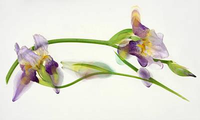 Photograph - Weaving Irises by Leda Robertson